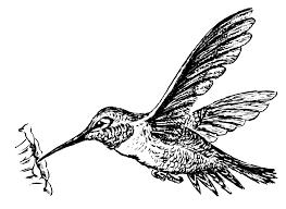 hummingbird drawings clip art 61