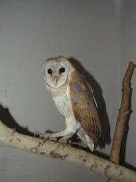 Scientific Name Of Barn Owl Birds Of Gujarat Large No Of Bird Collection And Species In Gujarat