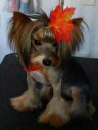 haircuts for yorkies different yorkie haircut styles yorkshire terrier information