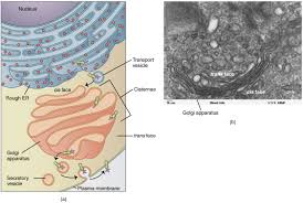Cytoplasm And Cellular Organelles