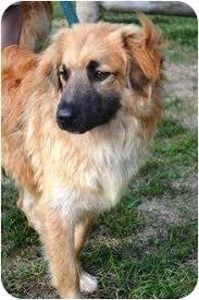 belgian sheepdog rescue adoption kennebunkport me belgian shepherd meet logan in maine a dog