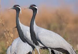 let u0027s talk about birds demoiselle crane pittsburgh post gazette