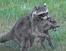 raccoon walking upright with baby u2013 mendonoma sightings