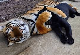 Funny Tiger Memes - 40 funny memes and awesome pics to help pass the time funny