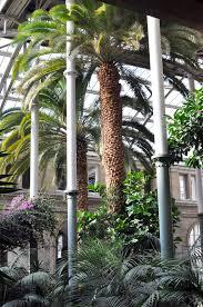 giant palm trees in the winter garden at ny carlsberg glyptoteket