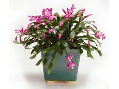 Christmas Plants How To Revive An Indoor Cactus Christmas Cactus Cacti And Plants