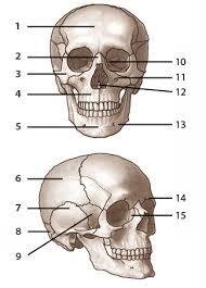 Human Anatomy Skull Bones Skeleton Label Worksheet With Answer Key Anatomy And Physiology