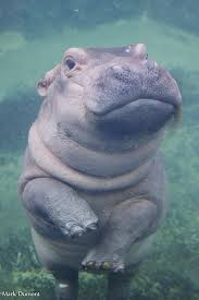 Baby Hippo Meme - coolest baby hippos half cute half ugly wallpaper site wallpaper