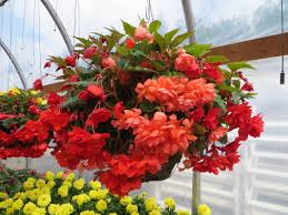 hanging basket plants for sun 5 must have hanging basket annuals hunniford gardens