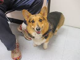 ten facts about welsh corgis u2026 the dog fit for a queen