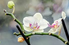 moth orchid info u2013 how to care for a phalaenopsis orchid