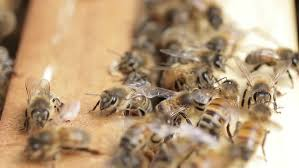 Seeking Honey Amazing Macro Of Hardworking Bees In A Beehive When They Are