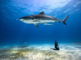 facts about tiger sharks just facts