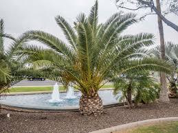 palm trees for sale in the area desert horizon nursery