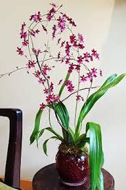 oncidium orchid oncidium sharry baby