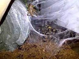 indian ornamental tarantula webbing