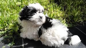 shih tzu with curly hair white black shih tzu puppy lay down on green grass adogbreeds com