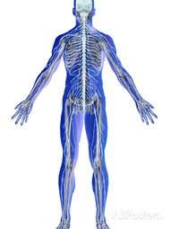 maintaining homeostasis the skeletal system