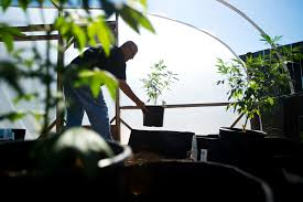 bay area cities counties confront legal pot san francisco chronicle