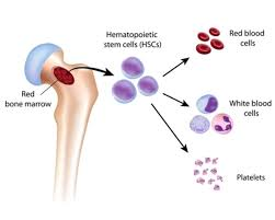 Which Cell Helps In Movement Of Bones Pearson Marrow Pancreas Syndrome Genetics Home Reference
