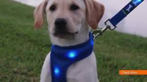 Light Up Dog Collar Light Up Led Dog Collars Will Make Your Pet The Coolest News Rule