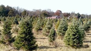 pioneer tree farm cut your own trees mchenry near chicago