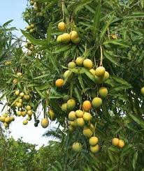 Tropical Fruit Tree Nursery - 174 best world of mangoes images on pinterest mango fruit