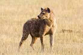 spotted hyena wikipedia
