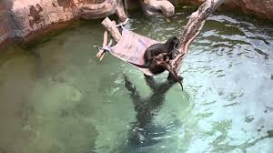 Zoo Lights Tucson Az by Bassam Videos Tucson Zoo Otters At Play Youtube