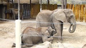 Zoo Lights Salt Lake City by Nursing Elephant Hogle Zoo Salt Lake City Utah Youtube