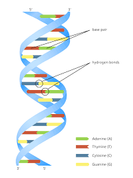 what is dna facts yourgenome org