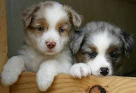 australian shepherd x puppies for sale heart of gold aussies houston ohio 45333