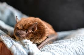 Ohio wildlife images Meet echo ohio wildlife center 39 s big brown bat ambassador wtte JPG