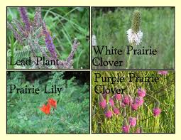 mn native plants far side of fifty wildflowers july 10 2010