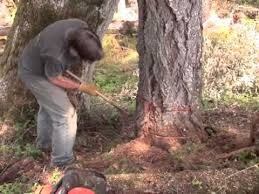 killing trees to save trees my girdles a fir tree