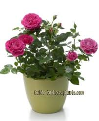 miniature tea roses guide for growing miniature roses indoors miniature care