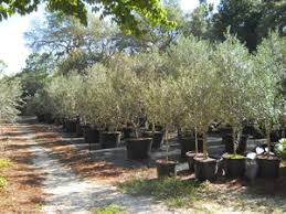 olive tree growers the care and feeding of olive trees
