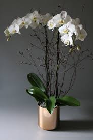 potted white phalaenopsis orchid agent f agent f u2013 same day