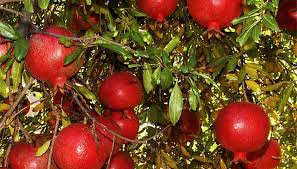 how to prune a pomegranate tree garden guides