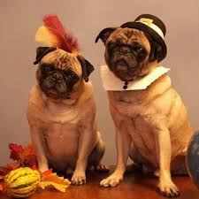 25 best thanksgiving dogs images on happy thanksgiving