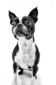 114 best boston terrier images on pinterest boston terrier