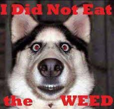 Stoned Dogs Meme - i did not eat the weed