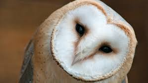 Barn Owls Habitat Endangered Ontario Why Barn Owls Have Flown The Coop In Ontario