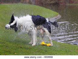 australian shepherd 6 jahre huetehund stock photos u0026 huetehund stock images alamy