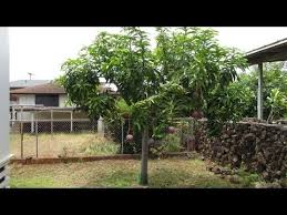 how i kept my mango tree small rapoza strain