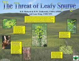 usda native plants leafy spurge biological control information u0026 photo resource