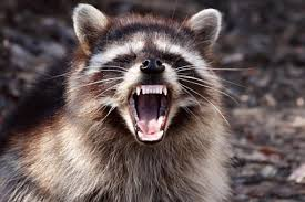 Raccoon Meme - raccoon drags baby out of bed and attacks her in philadelphia home