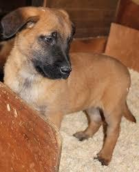 belgian sheepdog dog rescue quality bred belgian shepherd malinois puppies maidstone kent