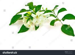 murraya paniculata large orange jasmine white flower orang jessamine murraya paniculata stock photo
