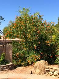 arizona backyard eden tecoma